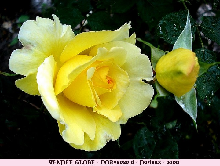 Rose vendee globe dorvengold francois dorieux 2000 roses passion 2