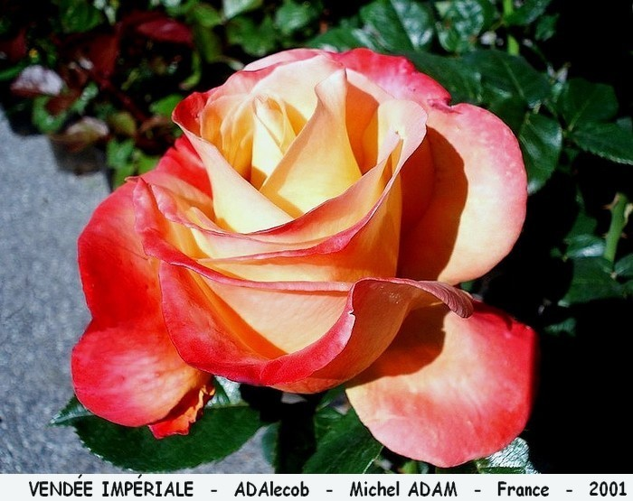 Rose vendee imperiale adalecob michel adam france 2001 roses passion
