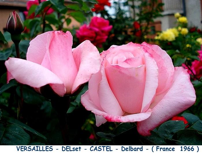 Rose versailles delset castel delbard 1966