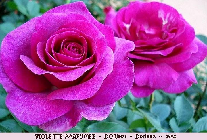 Rose violette parfumee dorient francois dorieux 1992 roses passion