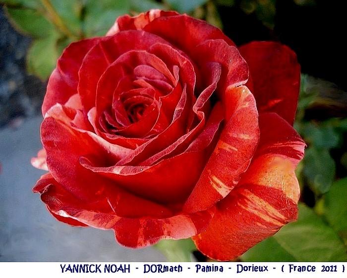 rose-yannick-noah-dormath-pamina-dorieux-france-2011.jpg