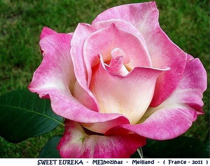 Rose Sweet Eureka - MEIhozihas - Meilland 2011 -
