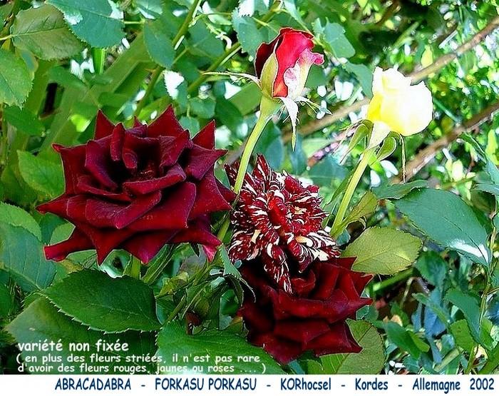 Rose abracadabra forkasu porkasu korhocsel kordes allemagne 2002