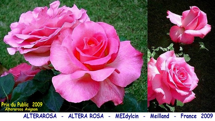 Rose alterarosa altera rosa meidylcin meilland france 2009