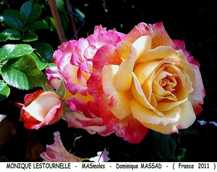 Rose monique lestournelle masmoles dominique massad france 2011