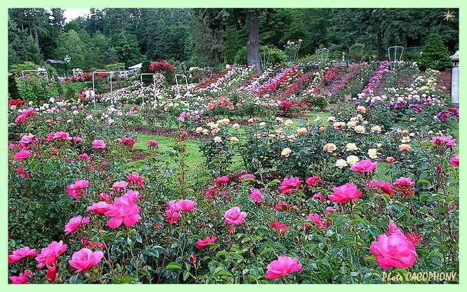 rosep-rosetestgardenportland-oregon-photo-cacophony-6547.jpg
