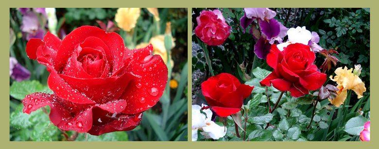 roses-marlena-kortocrea.jpg