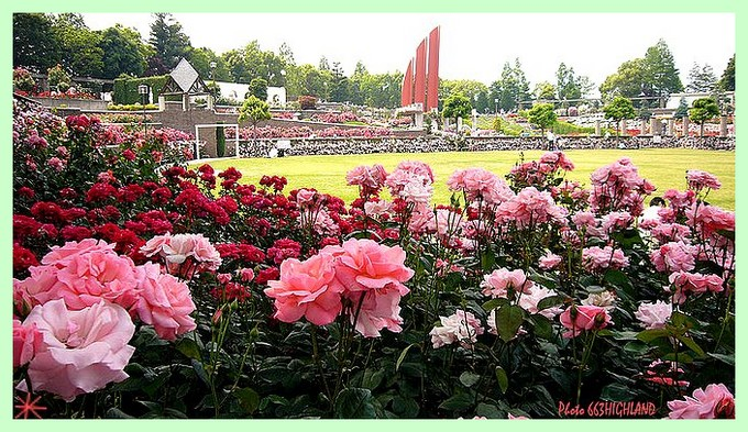 rosesp-aramaki-rose-japon-photo-633-highland.jpg
