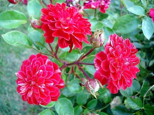 rosesp-bigoudi-03107.jpg