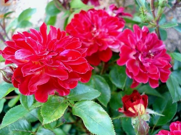 rosesp-bigoudi-03109.jpg
