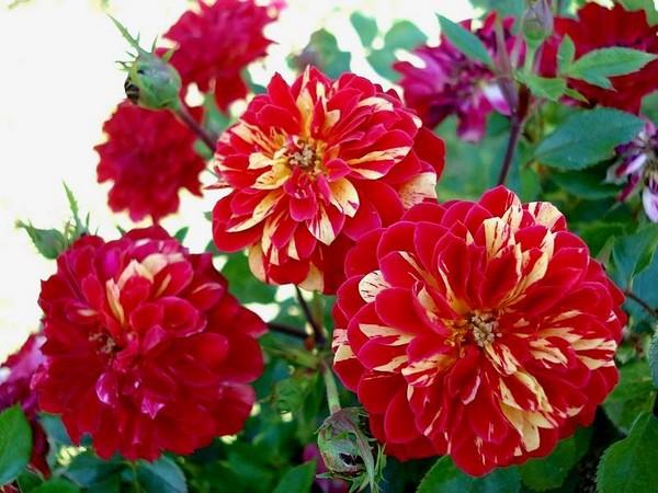 rosesp-bigoudi-03143.jpg