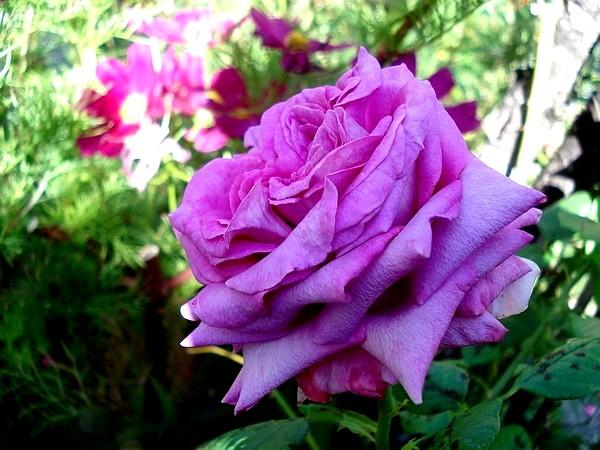 rosesp-chartreuse-de-parme-03316.jpg