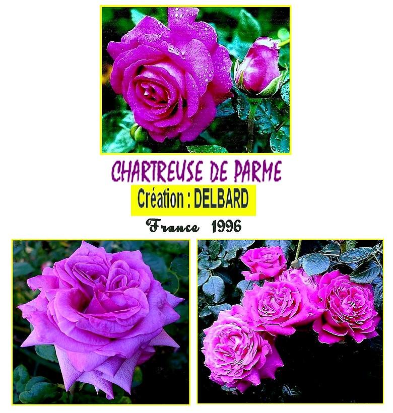 rosesp-chartreuse-de-parme-6660-pave-1.jpg