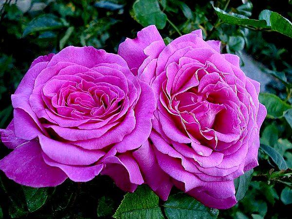 rosesp-chartreuse-de-parme-6663.jpg