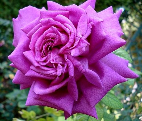 rosesp-chartreuse-de-parme-6664.jpg