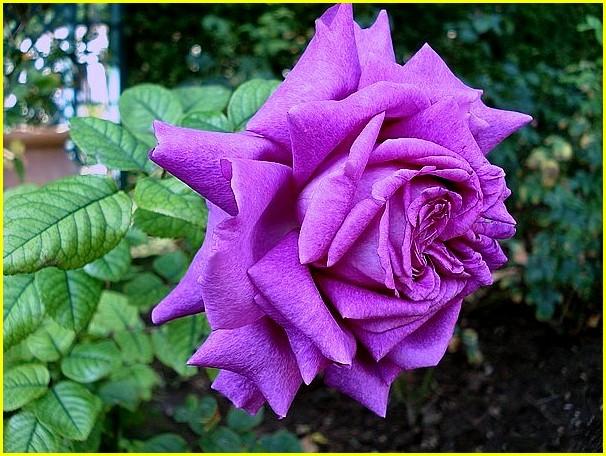 rosesp-chartreuse-de-parme-6665.jpg