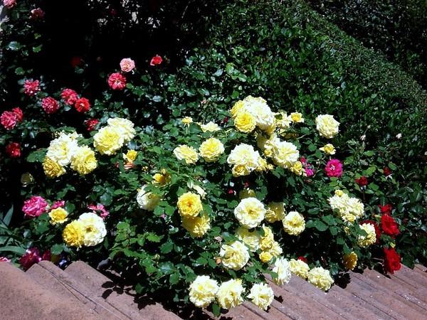rosesp-grimpant-rimosa-02069.jpg