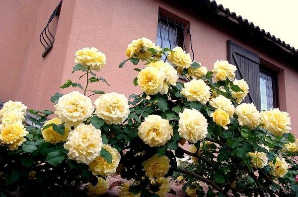 rosesp-grimpant-rimosa-02198.jpg