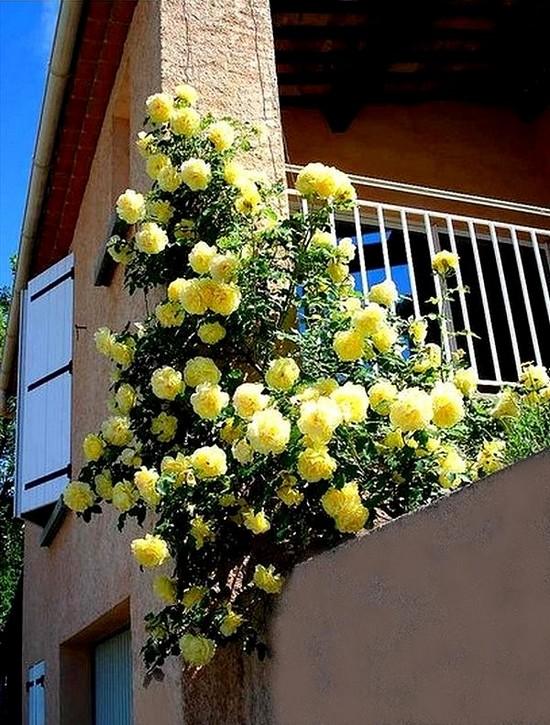 rosesp-grimpant-rimosa-7224.jpg