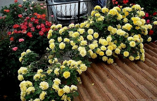 rosesp-grimpant-rimosa-7958.jpg