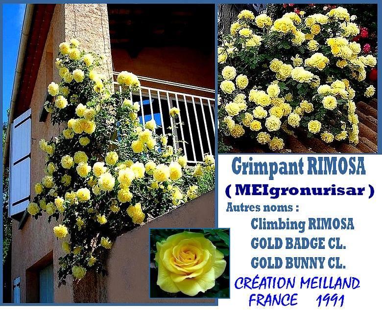 rosesp-grimpant-rimosa-rose-7223.jpg