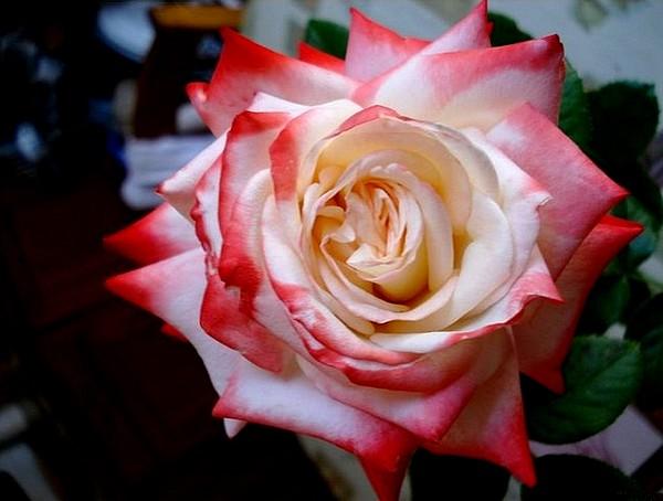 rosesp-imperatrice-farah-2261.jpg