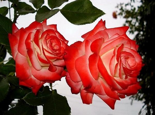 rosesp-imperatrice-farah-2262.jpg