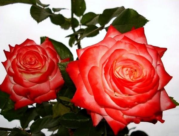 rosesp-imperatrice-farah-2263.jpg