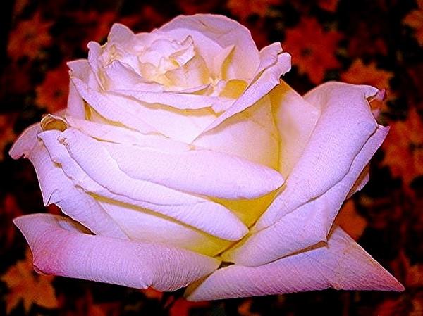 rosesp-imperatrice-farah-2265.jpg