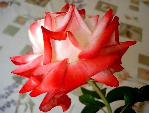 rosesp-imperatrice-farah-2266.jpg
