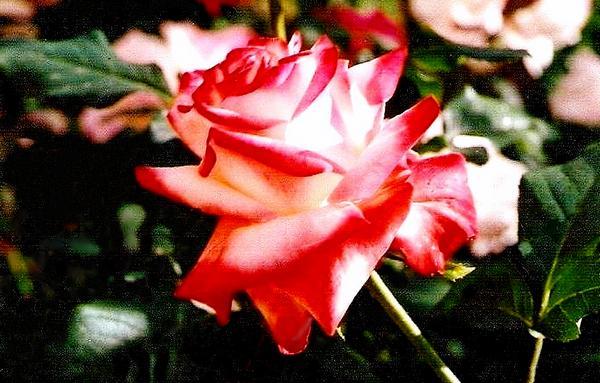 rosesp-imperatrice-farah-2267.jpg