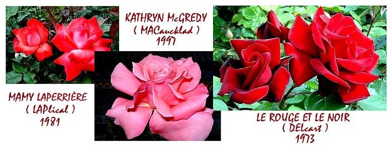 rosesp-mamy-laperriere-kathryn-mcgredy-le-rouge-et-le-noir-r-8822jpg.jpg