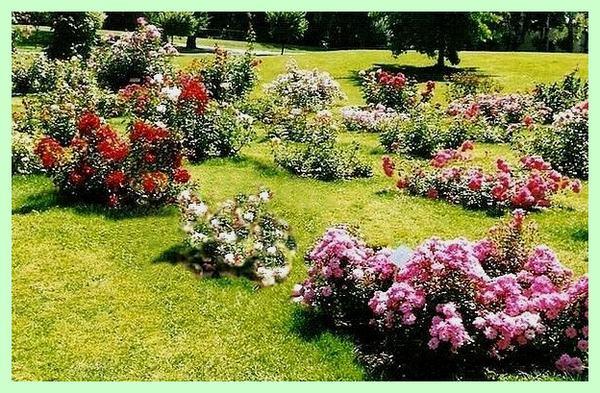 rosesp-roseraie-de-concours-geneve-4518.jpg