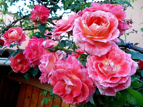 rosesp-spangles-02879.jpg