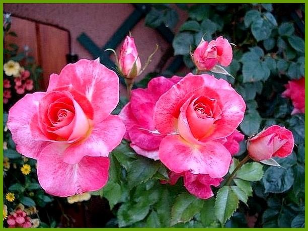 rosesp-spangles-8771.jpg