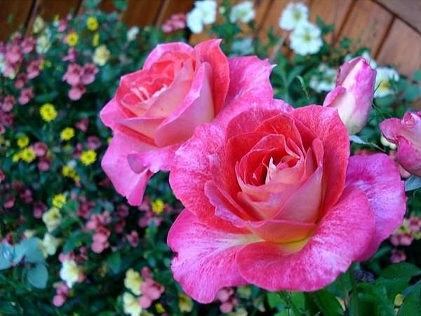 rosesp-spangles-8772.jpg