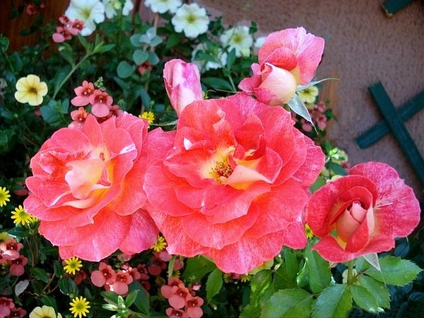 rosesp-spangles-8774.jpg