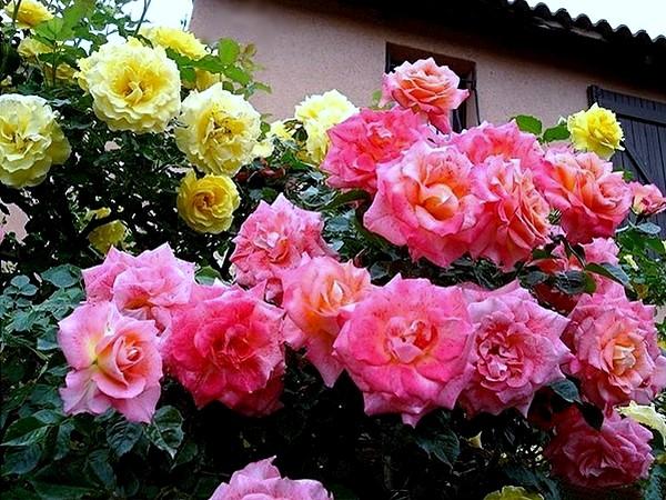 rosesp-spangles-8776.jpg