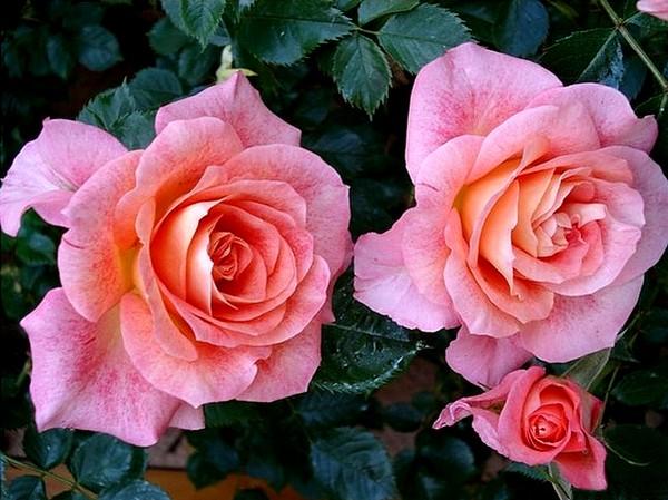 rosesp-spangles-8777.jpg