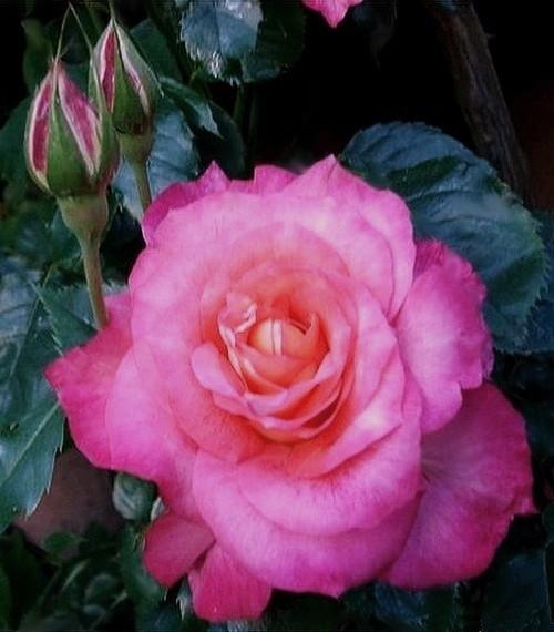 rosesp-spangles-8778.jpg