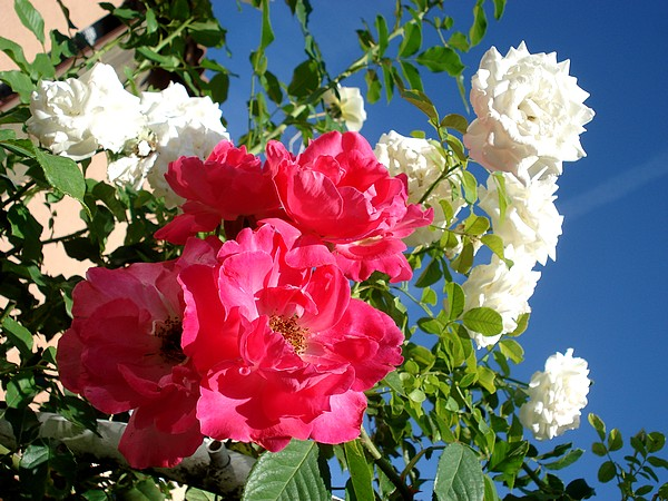 rosy-manon-3075.jpg