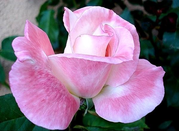 secret-rosesp-1.jpg