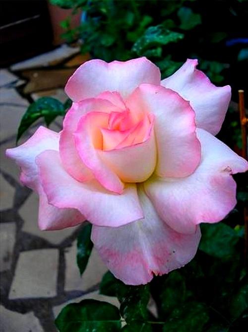 secret-rosesp-10.jpg