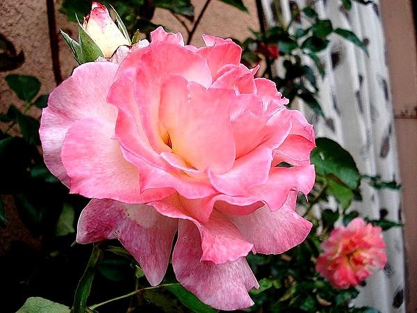 secret-rosesp-11-02714.jpg
