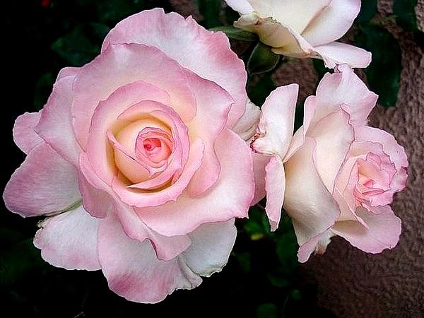 secret-rosesp-5.jpg