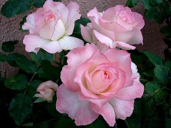 secret-rosesp-6.jpg