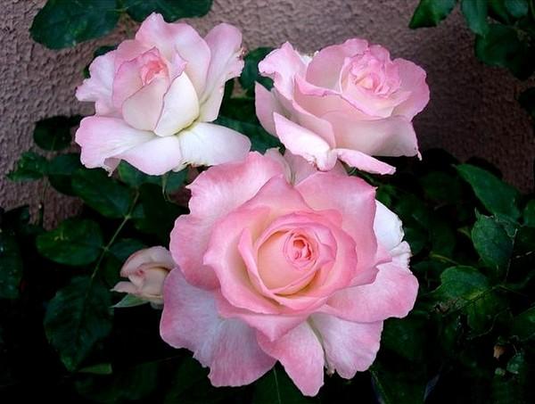secret-rosesp-7.jpg