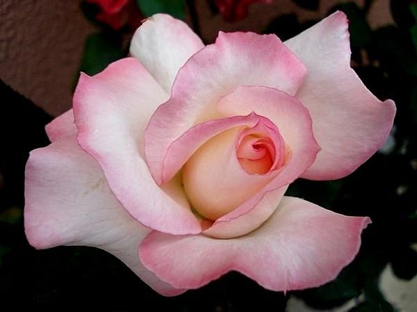 secret-rosesp-8.jpg