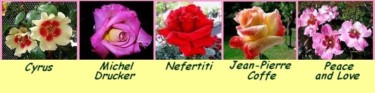 Serie 12 roses cyrus michel drucker nefertiti jean pierre coffe peace and love roses passion