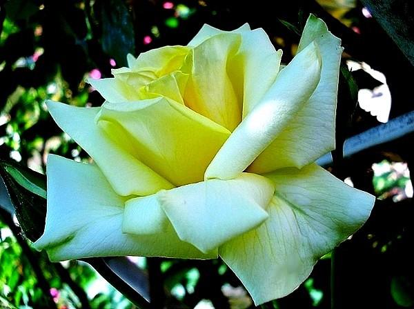 sterntaler-roses-passion-2280.jpg